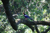 2012 鳥影~ 台灣藍鵲:1975213346.jpg