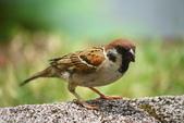 麻雀、鷺鷥、紅冠水雞~荷花池生態秀:z 105.JPG