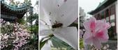 杜鵑花、苦楝、金魚草、玻斯菊、飄香藤:1370664896.jpg