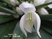 珠兒愛拍:其他植物:刺葉王蘭6