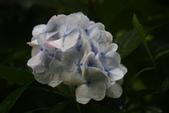 2012繡球花.阿勃勒.:1603080168.jpg