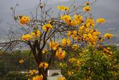 巴西國花~黃花風鈴木(新埔秘境):1366808306.jpg