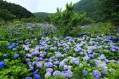 繽紛多彩繡球花~竹子湖:B 015.JPG