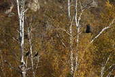 北疆金秋(3)喀納斯湖、禾木村:IMG_5147.JPG