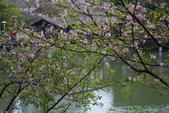 2013新竹麗池之櫻.中正紀念堂梅櫻:1443372226.jpg