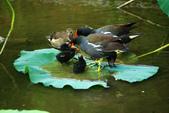 麻雀、鷺鷥、紅冠水雞~荷花池生態秀:g 125.JPG