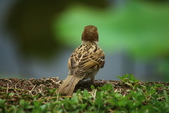麻雀、鷺鷥、紅冠水雞~荷花池生態秀:z 118.JPG