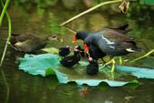 麻雀、鷺鷥、紅冠水雞~荷花池生態秀:g 123.JPG