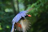 台灣藍鵲~石牌行義公園:b 111.JPG