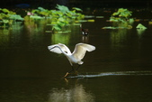 麻雀、鷺鷥、紅冠水雞~荷花池生態秀:w 126.JPG