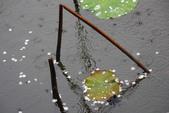 2012留得殘荷聽雨聲:1015047900.jpg