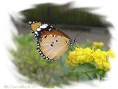 珠兒愛拍:鳥影蝶蹤:樺斑蝶