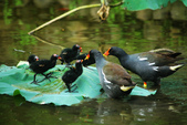 麻雀、鷺鷥、紅冠水雞~荷花池生態秀:g 117.JPG
