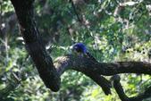 2012 鳥影~ 台灣藍鵲:1975213347.jpg