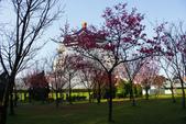 2013新竹麗池之櫻.中正紀念堂梅櫻:1443385356.jpg