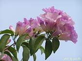 珠兒愛拍:藤蔓植物:蒜香藤;紫羅蘭