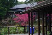 2013新竹麗池之櫻.中正紀念堂梅櫻:1443372222.jpg