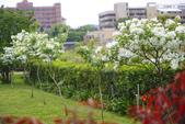 2012春暖花開~流蘇、野薔薇、加羅林魚木…..:1055388524.jpg