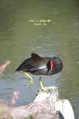 鳥類寫真:紅冠水雞、麻雀、綠繡眼、白頭翁、黑枕藍鶲、五色鳥:1786239277.jpg