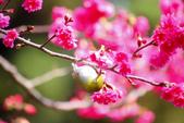 2013新竹麗池之櫻.中正紀念堂梅櫻:1443385387.jpg