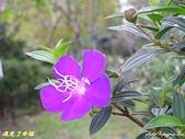 珠兒愛拍:低矮灌木:野豔牡丹5