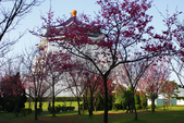2013新竹麗池之櫻.中正紀念堂梅櫻:1443385357.jpg