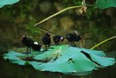麻雀、鷺鷥、紅冠水雞~荷花池生態秀:g 153.JPG
