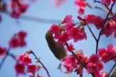 2013新竹麗池之櫻.中正紀念堂梅櫻:1443385418.jpg