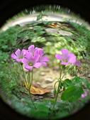 珠兒愛拍:其他植物:紫花酢漿草