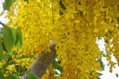 2012繡球花.阿勃勒.:1603089174.jpg
