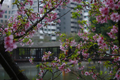 2013新竹麗池之櫻.中正紀念堂梅櫻:1443372223.jpg