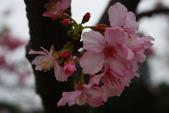 2013新竹麗池之櫻.中正紀念堂梅櫻:1443372239.jpg