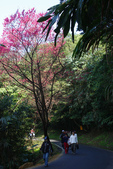 2012龍年風景(茶花山櫻花):1118855890.jpg
