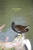 鳥類寫真:紅冠水雞、麻雀、綠繡眼、白頭翁、黑枕藍鶲、五色鳥:1786239278.jpg