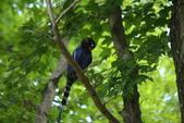 台灣藍鵲~石牌行義公園:b 080之1.JPG