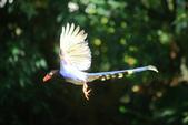 台灣藍鵲~石牌行義公園:b 106.JPG
