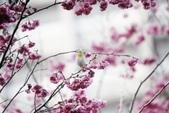 2013新竹麗池之櫻.中正紀念堂梅櫻:1443385363.jpg