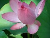 珠兒愛拍:水生植物:荷花7