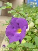 紫色浪漫97.11:蒜香藤、立鶴花、翠蘆莉、天使花、鼠尾草、馬蘭、台灣馬藍、矮牽牛:1878380507.jpg