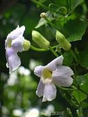 珠兒愛拍:藤蔓植物:大鄧伯花