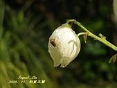 珠兒愛拍:其他植物:刺葉王蘭5