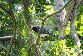 2012 鳥影~ 台灣藍鵲:1975213349.jpg