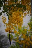 2012繡球花.阿勃勒.:1603089175.jpg