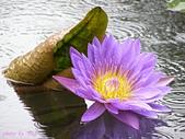 珠兒愛拍:水生植物:睡蓮8