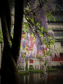 2013紫藤咖啡園:1744203257.jpg