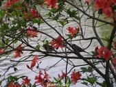 杜鵑花、苦楝、金魚草、玻斯菊、飄香藤:1370664899.jpg