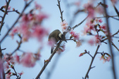 2013新竹麗池之櫻.中正紀念堂梅櫻:1443385371.jpg