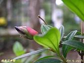 珠兒愛拍:低矮灌木:野豔牡丹4