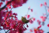 2013新竹麗池之櫻.中正紀念堂梅櫻:1443385420.jpg