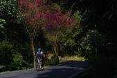 2012龍年風景(茶花山櫻花):1118855891.jpg
